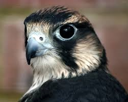 This is a peregrine falcon. Cuter than the turkey vulture, I think.